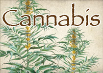 cannabis small