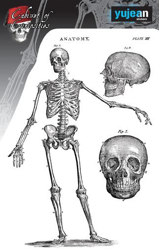 Cabinet of Curiosities Skeleton Sticker | Skulls and Dragons